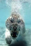 diving-tiger-iphone-wallpaper
